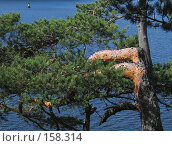 Купить «Ель на фоне Большой Никоновской бухты», фото № 158314, снято 18 августа 2007 г. (c) Ярослава Синицына / Фотобанк Лори