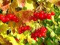 Красная калина, фото № 159130, снято 19 октября 2007 г. (c) Карелин Д.А. / Фотобанк Лори