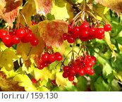 Купить «Красная калина», фото № 159130, снято 19 октября 2007 г. (c) Карелин Д.А. / Фотобанк Лори