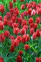 Много красных тюльпанов, фото № 160010, снято 7 мая 2006 г. (c) Морозова Татьяна / Фотобанк Лори