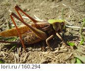 Купить «Самка прямокрылого насекомого», фото № 160294, снято 22 августа 2007 г. (c) Иванова Наталья / Фотобанк Лори
