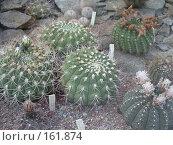 Купить «Украина,Никитский Ботанический сад,выставка кактусов», фото № 161874, снято 22 июня 2005 г. (c) Галина  Горбунова / Фотобанк Лори