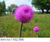 Купить «Пчела на цветке», фото № 162566, снято 20 мая 2006 г. (c) Igor Pavlenko / Фотобанк Лори