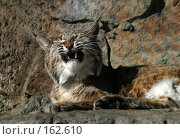 Купить «Рысь», фото № 162610, снято 12 апреля 2006 г. (c) Морозова Татьяна / Фотобанк Лори
