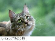 Купить «Зеленоглазая кошка», фото № 162618, снято 12 августа 2006 г. (c) Морозова Татьяна / Фотобанк Лори