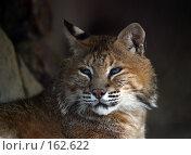 Купить «Дикий кот», фото № 162622, снято 14 июня 2004 г. (c) Морозова Татьяна / Фотобанк Лори