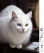 Купить «Кошка с разными глазами», фото № 162626, снято 15 января 2006 г. (c) Морозова Татьяна / Фотобанк Лори