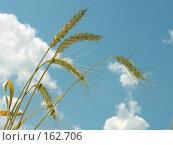 Купить «Колосья пшеницы на фоне неба», фото № 162706, снято 1 июля 2007 г. (c) Петрова Ольга / Фотобанк Лори