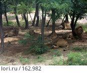 Купить «Семейство львов на отдыхе», фото № 162982, снято 10 июля 2007 г. (c) Хижняк Сергей / Фотобанк Лори