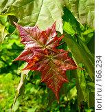Купить «Кленовые листья», фото № 166234, снято 24 мая 2007 г. (c) Светлана Силецкая / Фотобанк Лори