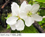 Купить «Цветы яблони», фото № 166246, снято 22 мая 2007 г. (c) Светлана Силецкая / Фотобанк Лори