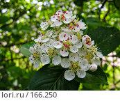 Купить «Цветок декоративного кустарника», фото № 166250, снято 24 мая 2007 г. (c) Светлана Силецкая / Фотобанк Лори