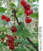 Купить «Кисть красной смородины», фото № 167074, снято 29 июля 2007 г. (c) Иван / Фотобанк Лори
