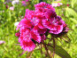Гвоздика турецкая (бородатая) - Dianthus barbatus, фото № 169534, снято 8 июля 2006 г. (c) Беляева Наталья / Фотобанк Лори