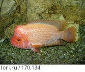 Купить «Цитроновая цихлазома - пресноводная аквариумная рыба», фото № 170134, снято 15 сентября 2006 г. (c) Наталья Ярошенко / Фотобанк Лори