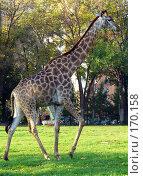 Купить «Жираф  на зеленой лужайке», фото № 170158, снято 23 сентября 2006 г. (c) Наталья Ярошенко / Фотобанк Лори