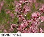 Купить «Май, розовые цветы миндаля», фото № 170478, снято 13 мая 2007 г. (c) Андрей Водилин / Фотобанк Лори