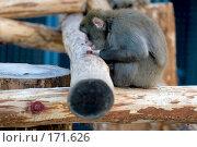 Купить «Обезьяна (макака?), сидя на бревнах, рассматривает гайку, которой они скреплены», фото № 171626, снято 1 января 2008 г. (c) Александр Чураков / Фотобанк Лори
