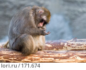 Купить «Обезьяна, сидящая на бревне, рассматривает свою ладонь», фото № 171674, снято 1 января 2008 г. (c) Александр Чураков / Фотобанк Лори