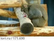 Купить «Обезьяна (макака) исследует на морозе (-17) гайку, пробуя её языком», фото № 171690, снято 1 января 2008 г. (c) Александр Чураков / Фотобанк Лори