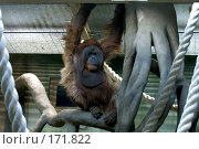 Купить «Орангутан, самец, в вольере зоопарка», фото № 171822, снято 1 января 2008 г. (c) Александр Чураков / Фотобанк Лори