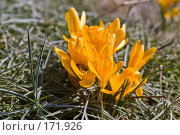 Купить «Желтые крокусы», фото № 171926, снято 8 апреля 2005 г. (c) Кравецкий Геннадий / Фотобанк Лори