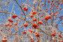 Рябина красная, фото № 172102, снято 9 января 2008 г. (c) Мударисов Вадим / Фотобанк Лори