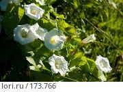 Купить «Цветки вьюнка», фото № 173766, снято 15 июля 2007 г. (c) Петухов Геннадий / Фотобанк Лори