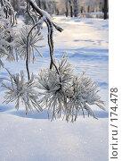 Купить «Заснеженная сосновая ветка», фото № 174478, снято 12 января 2008 г. (c) Круглов Олег / Фотобанк Лори