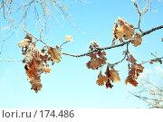 Купить «Заиндевевшая ветка дуба с листьями на фоне голубого неба», фото № 174486, снято 12 января 2008 г. (c) Круглов Олег / Фотобанк Лори