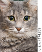 Купить «Портрет кошки», фото № 174858, снято 12 января 2008 г. (c) Давид Мзареулян / Фотобанк Лори