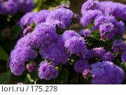 Купить «Агератум», фото № 175278, снято 24 июля 2007 г. (c) Петухов Геннадий / Фотобанк Лори