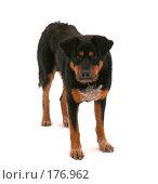 Купить «Собака смотрит в камеру», фото № 176962, снято 13 декабря 2007 г. (c) Евгений Р / Фотобанк Лори