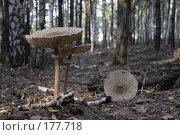Купить «Три гриба», фото № 177718, снято 28 мая 2018 г. (c) Антон Тарасов / Фотобанк Лори