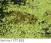 Купить «Лягушка озерная (Rana ridibunda)», фото № 177922, снято 11 августа 2007 г. (c) Максим Рыжов / Фотобанк Лори