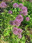 Лук афлатунский - Allium aflatunense, фото № 179226, снято 1 июля 2007 г. (c) Беляева Наталья / Фотобанк Лори