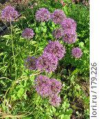 Купить «Лук афлатунский - Allium aflatunense», фото № 179226, снято 1 июля 2007 г. (c) Беляева Наталья / Фотобанк Лори