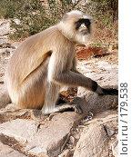 Купить «Обезьяна лангур. Индия», фото № 179538, снято 21 ноября 2004 г. (c) Владимир Сергеев / Фотобанк Лори