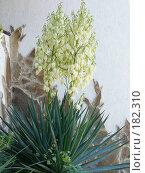 Купить «Цветущая пальма», фото № 182310, снято 8 июня 2007 г. (c) Наталья Ярошенко / Фотобанк Лори