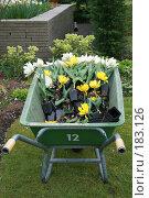 Купить «Подготовка тюльпанов к высадке», фото № 183126, снято 11 апреля 2007 г. (c) Demyanyuk Kateryna / Фотобанк Лори