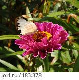 Бабочка на цветке. Стоковое фото, фотограф Ирина Гусева / Фотобанк Лори