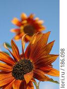 Купить «Подсолнух в небесах», фото № 186098, снято 23 сентября 2006 г. (c) Марина Мокеева / Фотобанк Лори