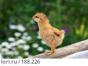 Купить «Цыплёнок», фото № 188226, снято 17 марта 2006 г. (c) Игорь Потапов / Фотобанк Лори