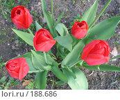 Купить «Тюльпаны», фото № 188686, снято 20 мая 2007 г. (c) Юлия Подгорная / Фотобанк Лори