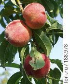 Купить «Персики», фото № 188978, снято 21 июня 2001 г. (c) Федор Королевский / Фотобанк Лори