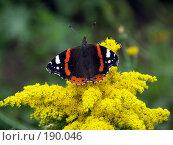 Купить «Бабочка Адмирал на цветке», фото № 190046, снято 25 августа 2006 г. (c) Лебедева Александра / Фотобанк Лори