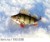Купить «Окушок», фото № 193038, снято 30 января 2008 г. (c) Кондратьев Игорь Витальевич / Фотобанк Лори