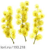 Купить «Три маленьких веточки мимозы, изолированное изображение», фото № 193218, снято 24 мая 2018 г. (c) Tamara Kulikova / Фотобанк Лори