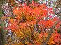 Яркие осенние листья, фото № 195830, снято 13 ноября 2004 г. (c) Иван Сазыкин / Фотобанк Лори