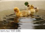 Купить «Гусята плавают в ванной», фото № 197046, снято 8 июля 2007 г. (c) Лукьянов Иван / Фотобанк Лори